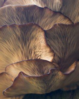 Medicinal Mushroom Blends